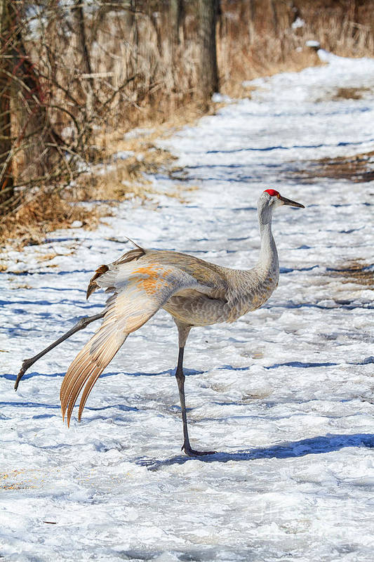 Sandhill Art Print featuring the photograph Ice Capades by Todd Bielby