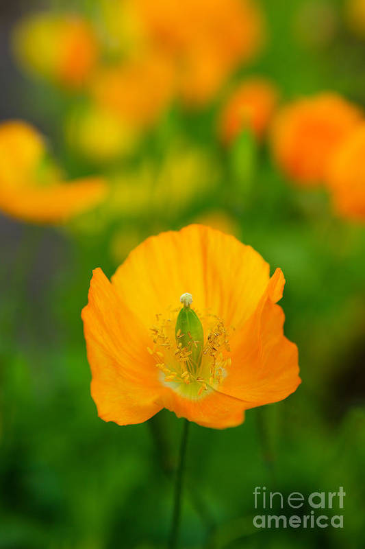 Poppies Art Print featuring the photograph Icelandic Poppies by Lynne Sutherland