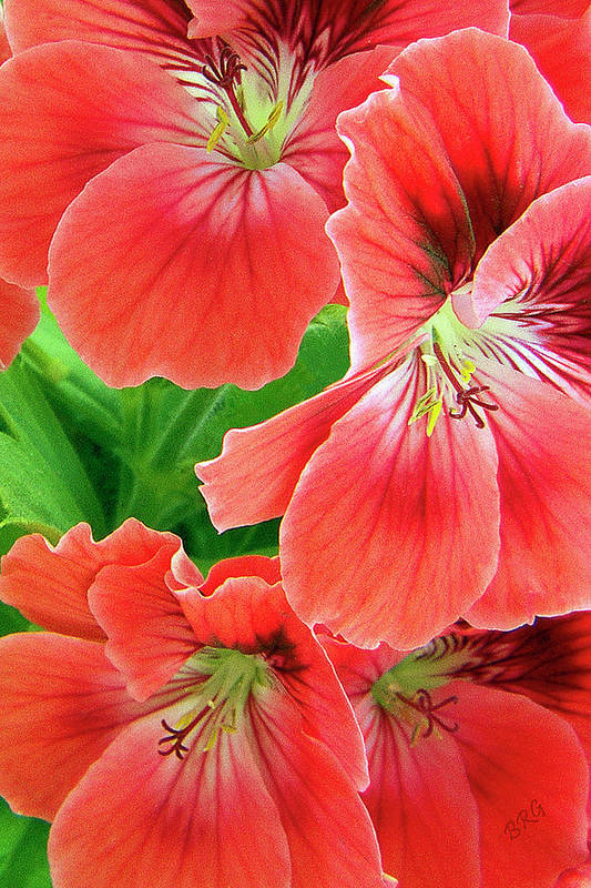 Red Print featuring the photograph In The Garden. Geranium by Ben and Raisa Gertsberg