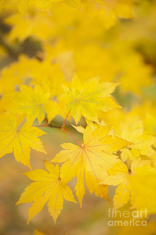 Acer Art Print featuring the photograph Intensely Yellow by Anne Gilbert
