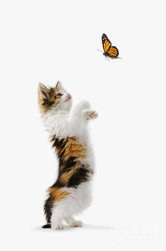 Active Art Print featuring the photograph Kitten And Monarch Butterfly by Wave Royalty Free