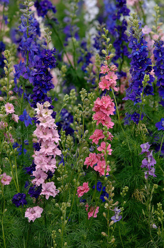 Flower Art Print featuring the photograph Larkspur  Delphinium Consolida by Carol Gregory
