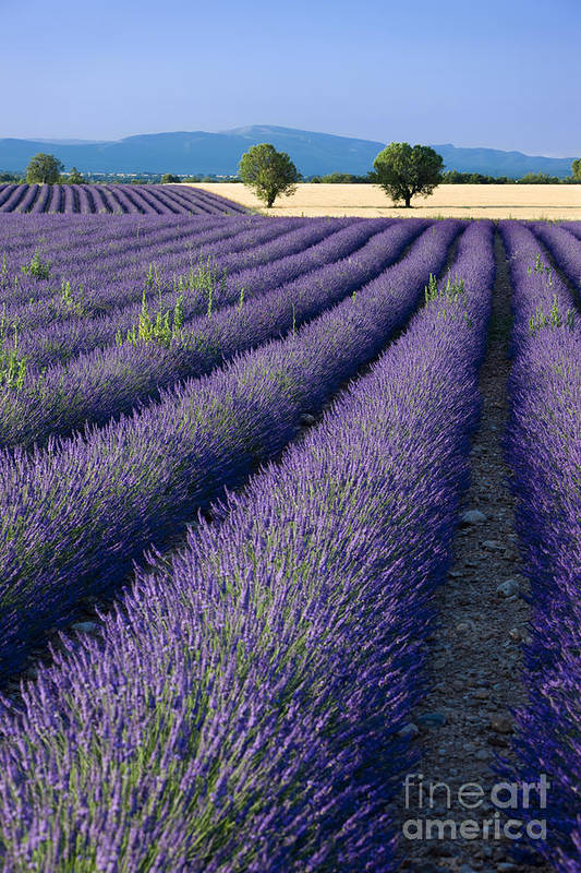 Lavender Art Print featuring the photograph Lavender Fields by Brian Jannsen