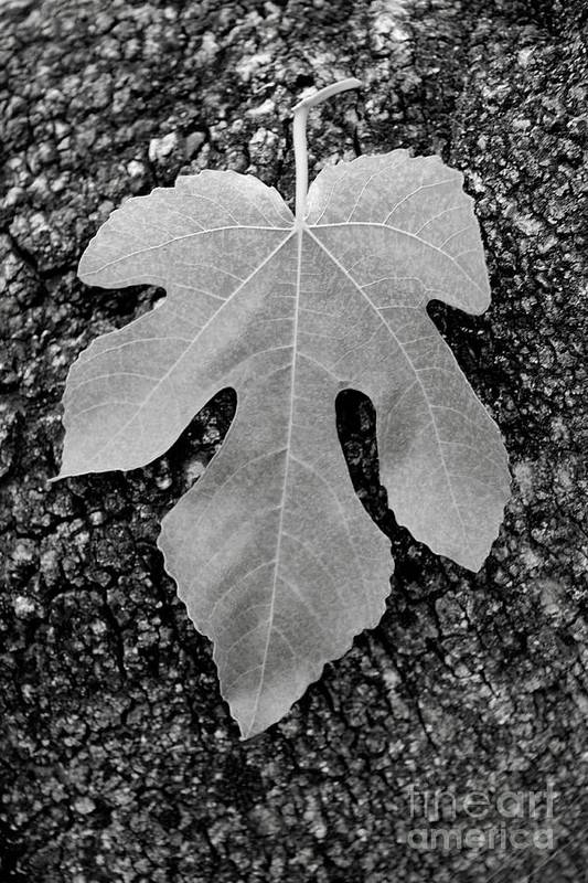 Leaf Art Print featuring the photograph Leaf On Bark by Andrew Brooks