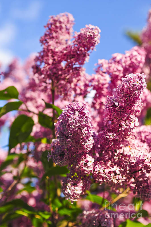 Lilac Art Print featuring the photograph Lilacs by Elena Elisseeva