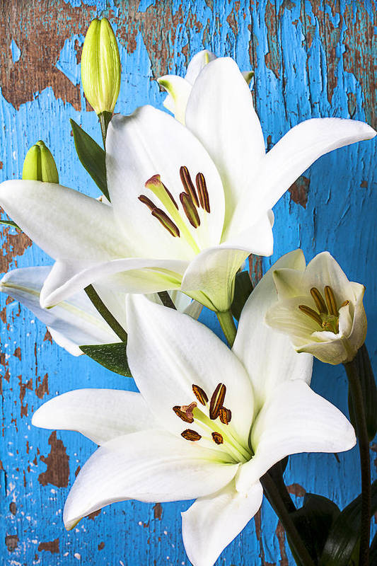 White Lily Art Print featuring the photograph Lilies Against Blue Wall by Garry Gay