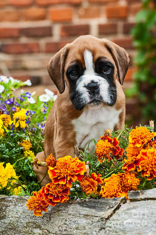 Dog Print featuring the photograph little Boxer Puppy in flowers by Doreen Zorn