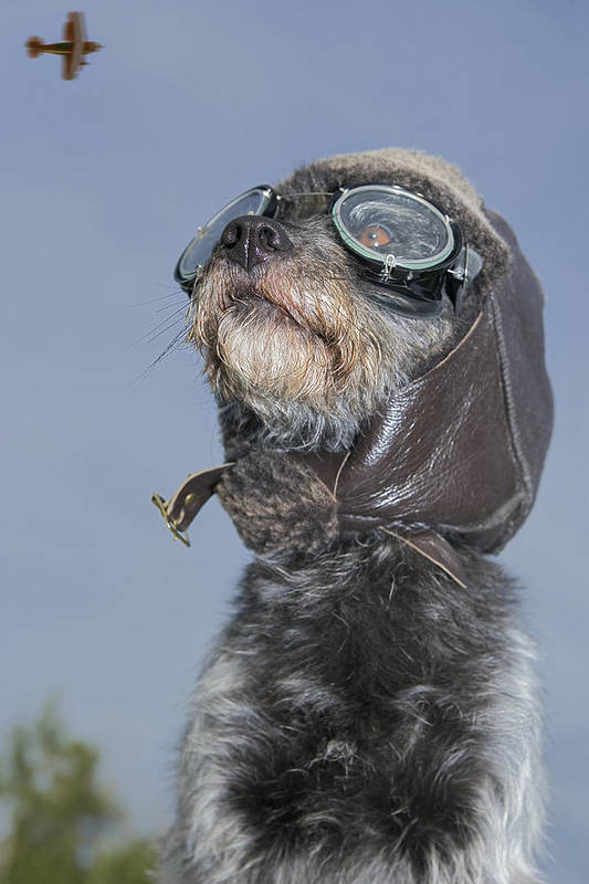 Aeroplane Art Print featuring the photograph Mixed Breed Dog Dressed In Leather Cap by Darwin Wiggett
