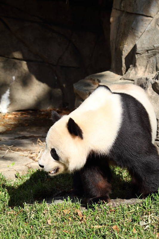 National Art Print featuring the photograph National Zoo - Panda - 011321 by DC Photographer