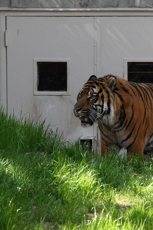 National Art Print featuring the photograph National Zoo - Tiger - 011323 by DC Photographer