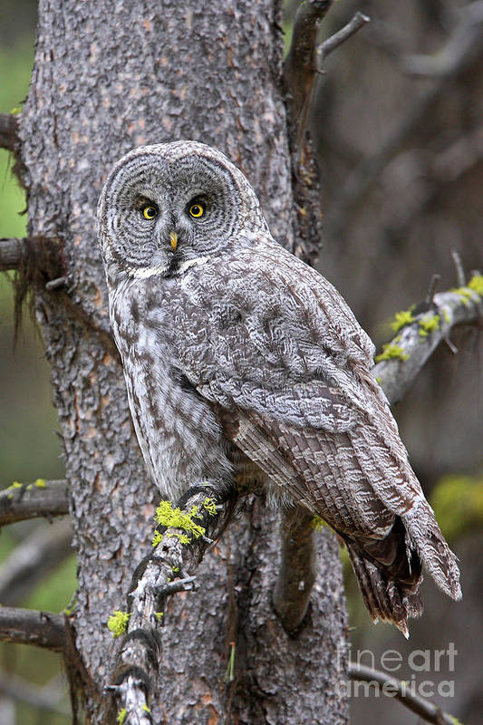 Great Gray Owl Art Print featuring the photograph Natures Camo by Bill Singleton