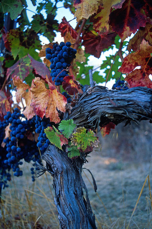 Wine Art Print featuring the photograph Old Vine by Kathy Yates