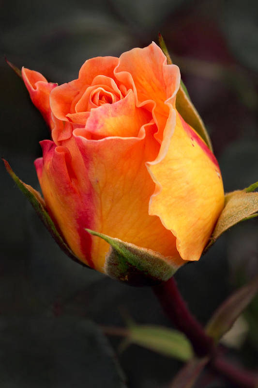 Jardin Botanico De Bogota Art Print featuring the photograph Opening Rose by Theo