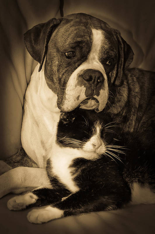 Boxer Art Print featuring the photograph Opposites Attract by DigiArt Diaries by Vicky B Fuller