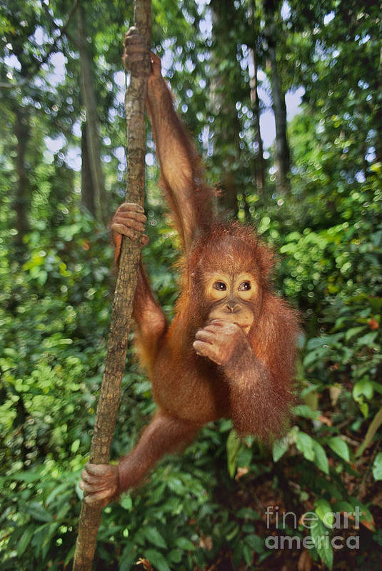 Animal Behavior Art Print featuring the photograph Orangutan by Frans Lanting MINT Images