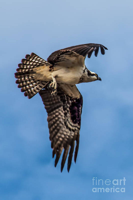 Osprey Art Print featuring the photograph Osprey Flying Away by Robert Bales