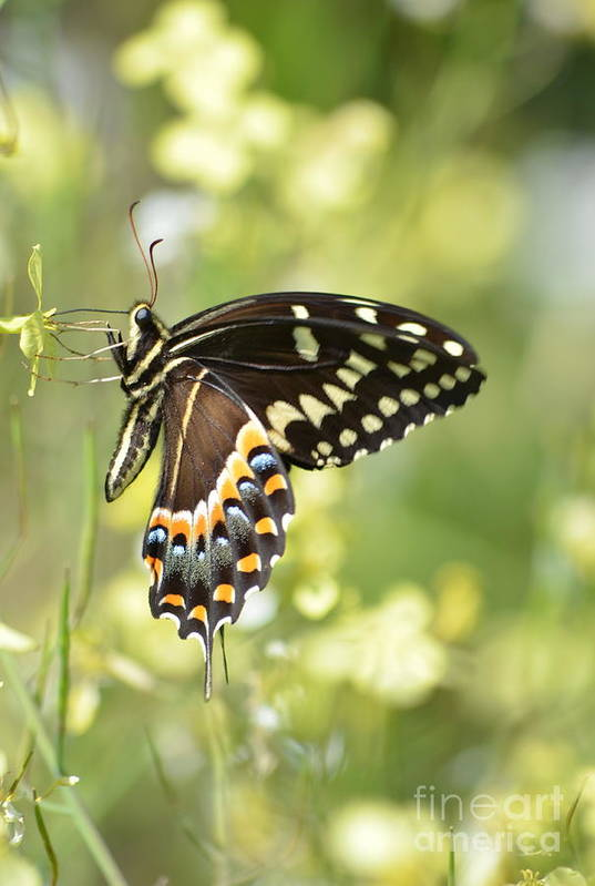 Swallowtail Art Print featuring the photograph Palamedes Swallowtail 2 by Kathy Gibbons