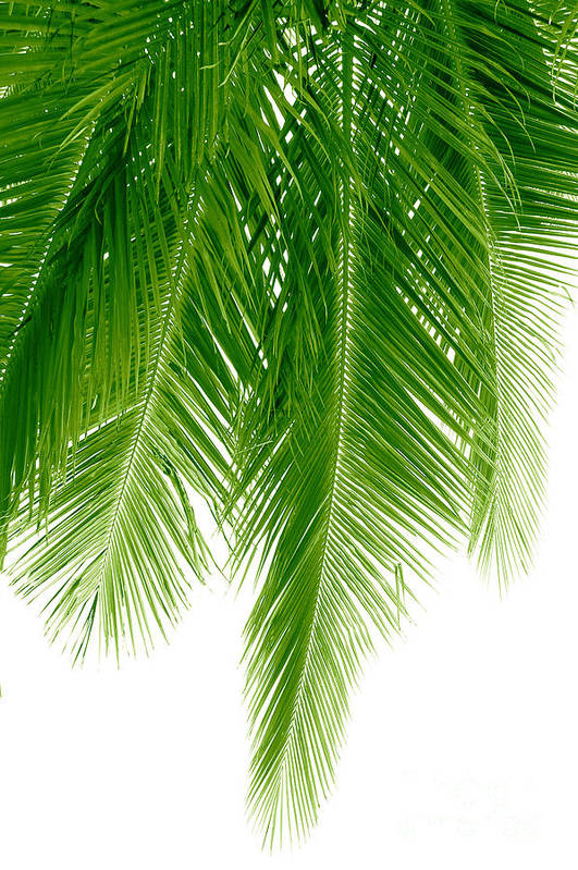 Palms Print featuring the photograph Palms Green by Boon Mee
