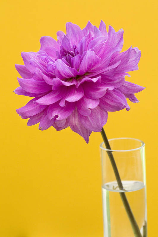 Flower Art Print featuring the photograph Pink Dahlia In A Vase Against Yellow Orange Background by Natalie Kinnear