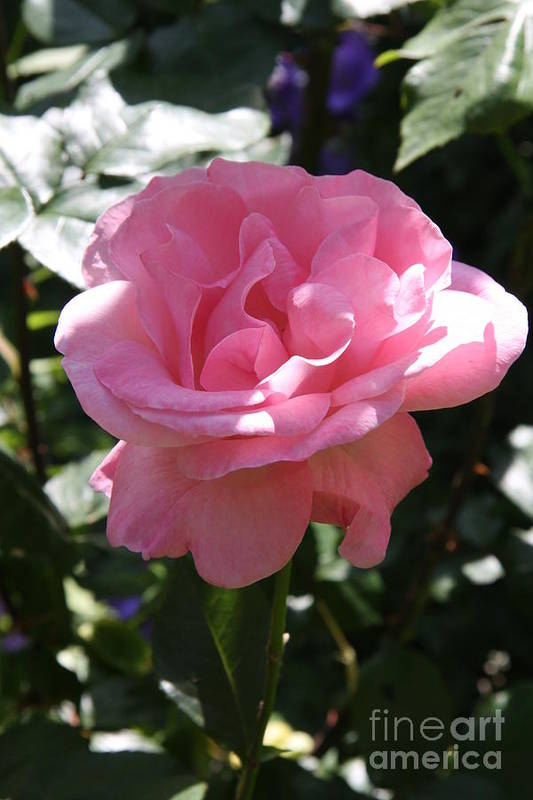 Rose Art Print featuring the photograph Pink Rose by Christiane Schulze Art And Photography