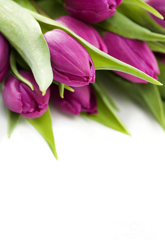 Pink Tulip Art Print featuring the photograph Pink Tulip by Boon Mee