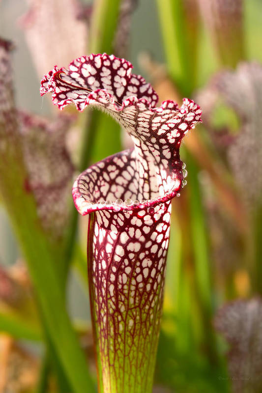 Pitcher Plant Art Print featuring the photograph Plant - Pretty As A Pitcher Plant by Mike Savad