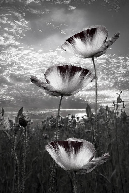 Appalachia Print featuring the photograph Poppies by Debra and Dave Vanderlaan