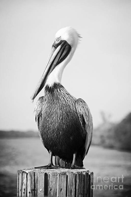 Pelican Art Print featuring the photograph Posing Pelican - Black And White by Carol Groenen