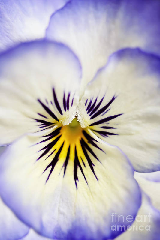 Natalie Kinnear Photography Art Print featuring the photograph Pretty Pansy Close Up by Natalie Kinnear