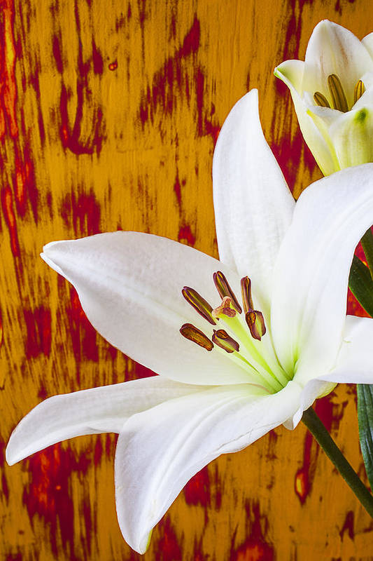White Lily Art Print featuring the photograph Pure White Lily by Garry Gay