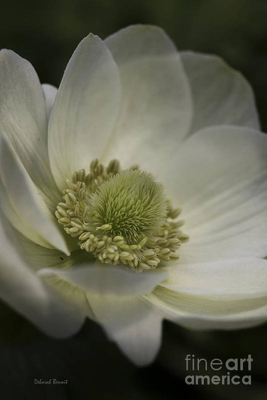 Flower Art Print featuring the photograph Pureness In White by Deborah Benoit