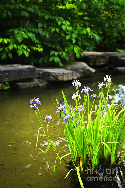 Garden Art Print featuring the photograph Purple Irises In Pond by Elena Elisseeva