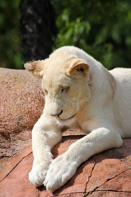 Animal Art Print featuring the photograph Rare Female White Lion by Davandra Cribbie
