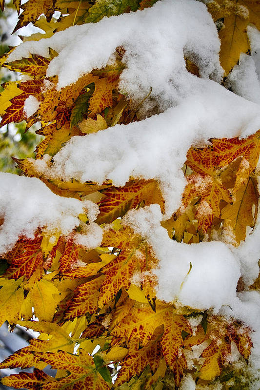 Tree Art Print featuring the photograph Red Autumn Maple Leaves With Fresh Fallen Snow by James BO Insogna