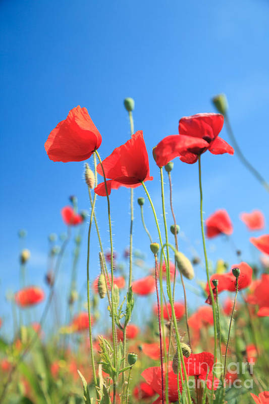 Poppies Art Print featuring the photograph Red Poppies by Matteo Colombo