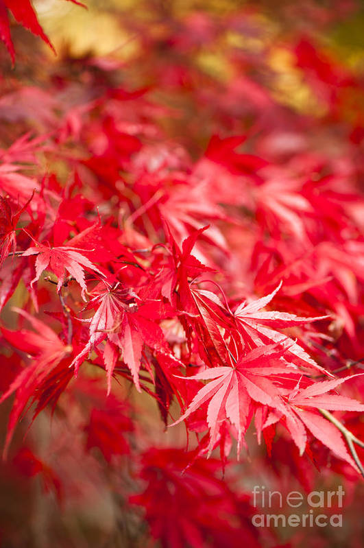 Acer Art Print featuring the photograph Red Red Red by Anne Gilbert
