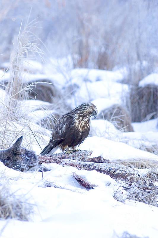 Fauna Art Print featuring the photograph Rough Legged Hawk On Deer Carcass by Gregory K Scott