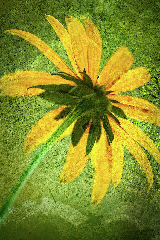 Black-eyed Susan Art Print featuring the photograph Rudbeckia On Cement by Onyonet Photo Studios