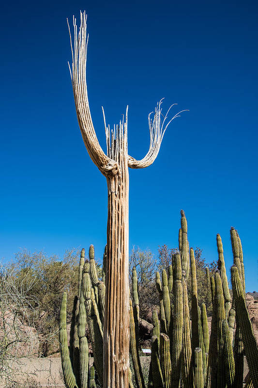 Arizona Art Print featuring the photograph Saguaro To Heaven by Marc Novell