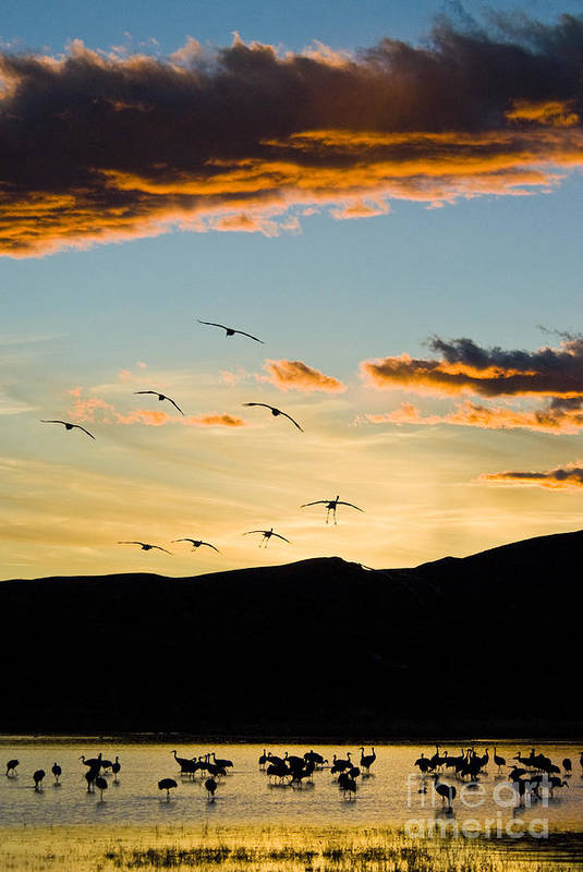Nature Art Print featuring the photograph Sandhill Cranes In New Mexico by William H Mullins