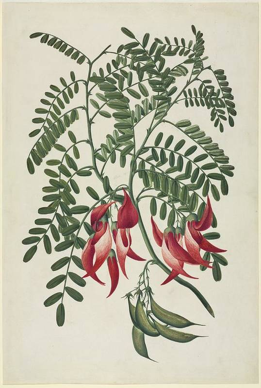 Scarlet Clianthus Art Print featuring the photograph Scarlet Clianthus (clianthus Puniceus) by Science Photo Library