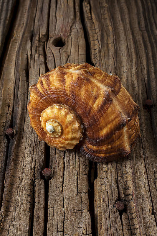 Sea Shell Art Print featuring the photograph Sea Snail Shell On Old Wood by Garry Gay