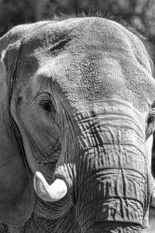 Elephant Art Print featuring the photograph Sleepy Elephant Lady Black And White by Kathy Clark