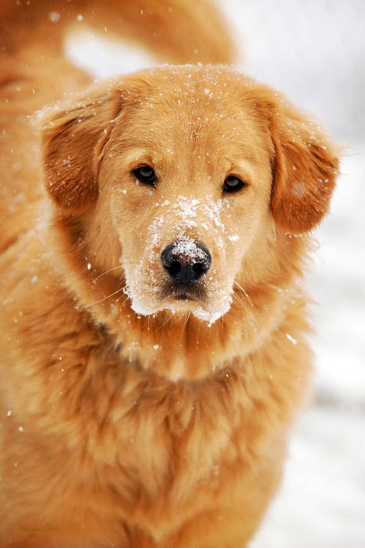 Snowy Art Print featuring the photograph Snowy Golden Retriever by Christina Rollo