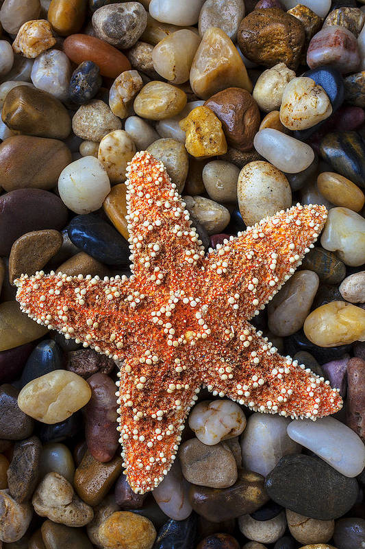 Starfish Art Print featuring the photograph Starfish On Rocks by Garry Gay