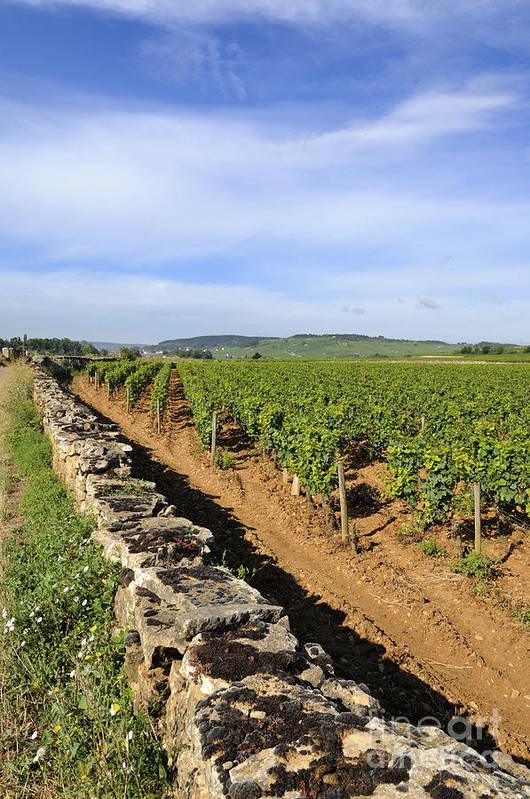 Agricultural  Art Print featuring the photograph Stone Wall. Vineyard. Cote De Beaune. Burgundy. France. Europe by Bernard Jaubert