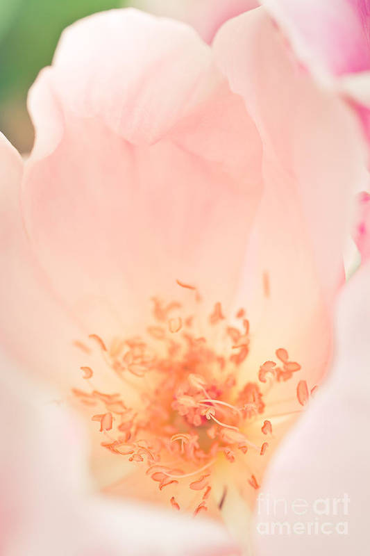 Nature Art Print featuring the photograph Study Of A Rose Four by Lisa McStamp
