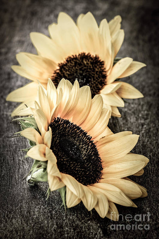 Sunflowers Art Print featuring the photograph Sunflower Blossoms by Elena Elisseeva