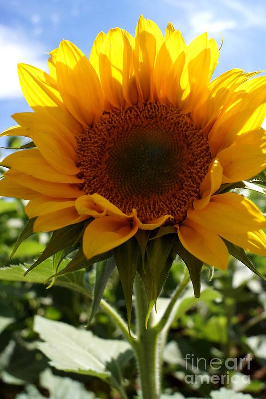 Agriculture Art Print featuring the photograph Sunflower Highlight by Kerri Mortenson