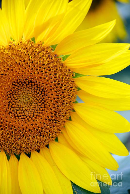 Clear Art Print featuring the photograph Sunflower Petals by Mark Dodd